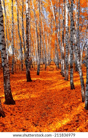 Autumn birch grove on the sky background - stock photo