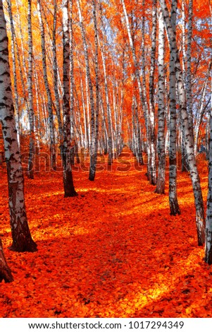 Autumn birch grove on the sky background. Red leaf.