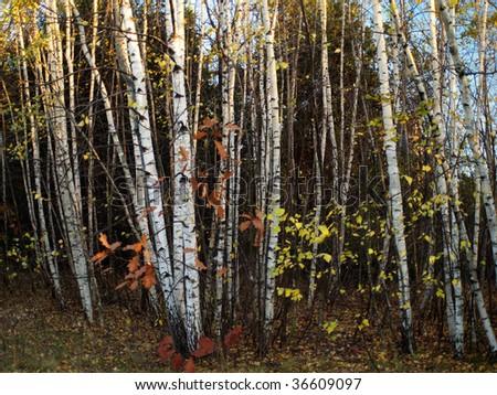 Autumn birches - stock photo