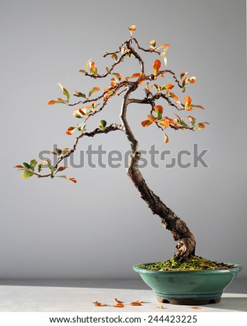 autumn bonsai tree - stock photo