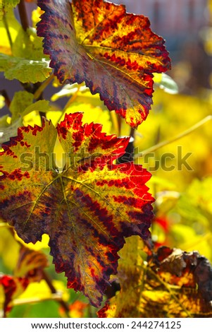 Autumn branch of grape with bright foliage glowing in sunlight - stock photo