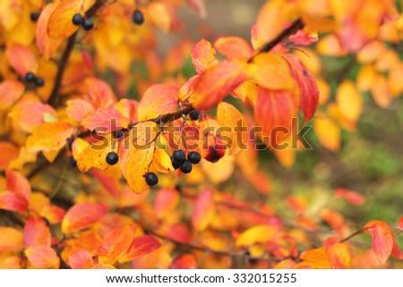 autumn bright bush with black berries - stock photo