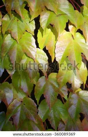 Autumn bright green wild grape vine leaves on wall outdoor on natural background beautiful wallpaper nature wildlife closeup outdoor, vertical picture