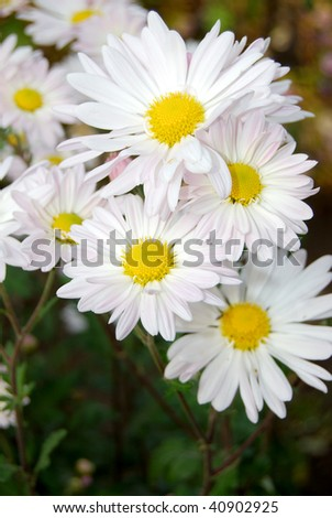autumn chrysanthemum