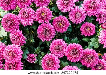 Autumn chrysanthemum flower in full bloom - stock photo