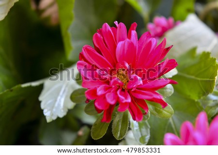 autumn chrysanthemum flowers