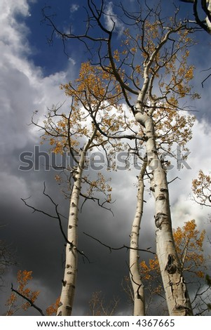 Autumn clad aspens with dark storm clouds rolling in - stock photo