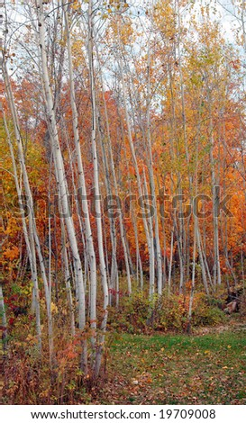 Autumn color in an aspen grove with maples. - stock photo