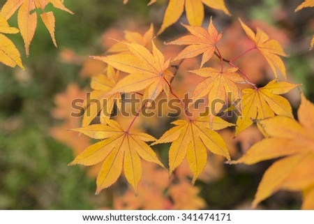 Autumn color of maple