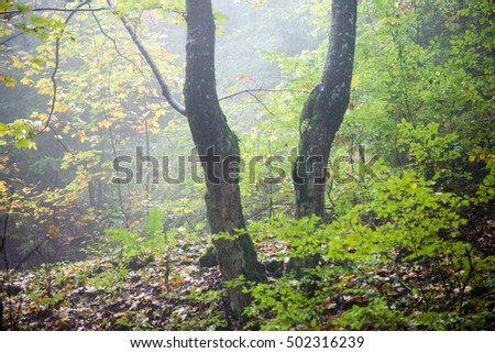 autumn colored forest trees in misty evening. fall scene in country