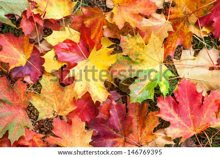Autumn colorful red and yellow maple leaves in park - stock photo