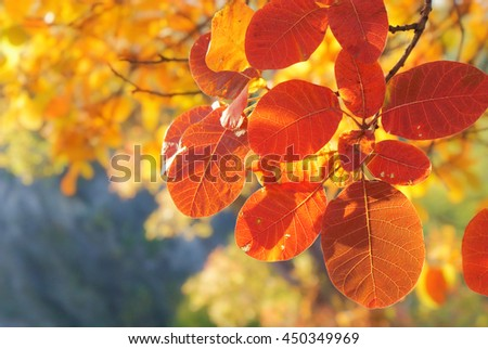 Autumn colorful  smoke branch with bright red leaf closeup on blurred background yellow foliage. Bright Sunny day in October. - stock photo