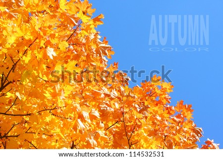 Autumn colors, Maple foliage. The Sugar Maple (Acer saccharum) is major source of sap for making maple syrup. - stock photo