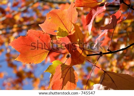 Autumn colors on a Maple tree - stock photo