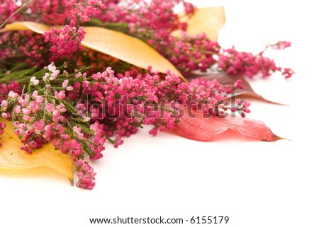autumn composition - heather and colorful leaves, with white copy space - stock photo