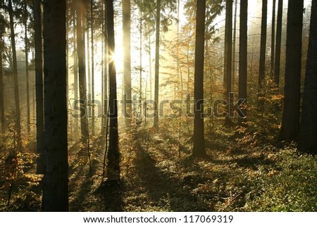 Autumn coniferous forest on a foggy morning. - stock photo