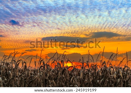 Autumn cornstalks are backed by a vibrant sunset sky in rural Indiana. - stock photo