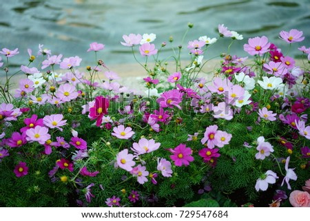 https://thumb7.shutterstock.com/display_pic_with_logo/167494286/729547684/stock-photo-autumn-cosmos-in-a-park-729547684.jpg