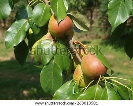 autumn crop of pears. Czech Republic - stock photo