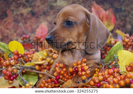 Autumn Dachshund Puppy in a fall holiday scene of colored leaves and berries.  Profile view of a miniature red smooth haired dachshund puppy dog in a fall display. - stock photo
