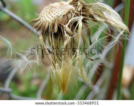 Autumn Dandelion After Rain. Dandelion Dry But Just As Beautiful.