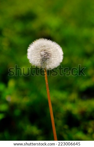 Autumn Dandelion wild flower blow ball. Close up detail of the delicate, light seeds and stem with green foliage in the background - stock photo