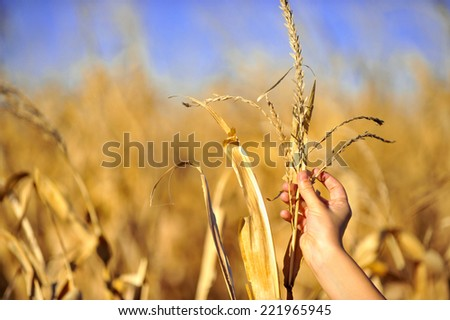Autumn detail with a hand inspecting a corn plant in a cornfield - stock photo