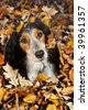 Autumn dog - stock photo