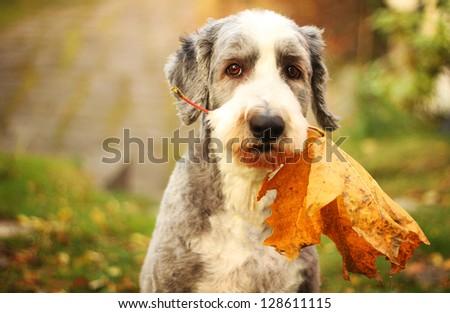 Autumn dog - stock photo
