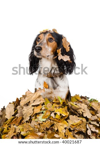 Autumn dog in a pile of leaves - stock photo