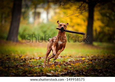 Autumn Dog Rhodesian Ridgeback - stock photo