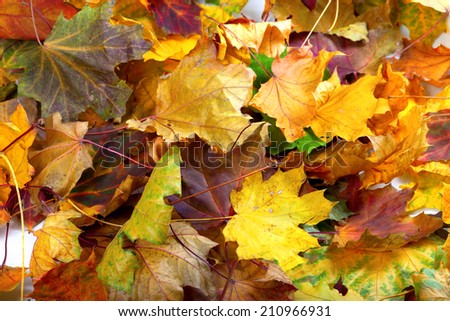 Autumn dry maple leafs background - stock photo