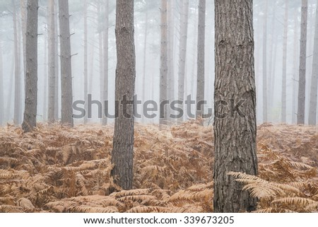 Autumn Fall landscape foggy morning in pine forest - stock photo