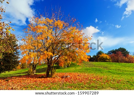 Autumn, fall landscape with a tree full of colorful leaves, sunny blue sky. - stock photo
