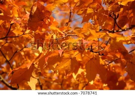 Autumn fall leaves - Brilliant Orange and Yellow - stock photo