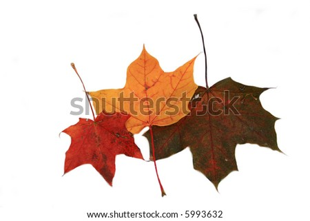 Autumn fall maple leaves - isolated
