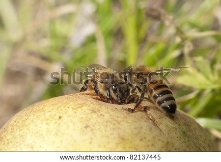Autumn feast - two bees share a fallen pear, macro