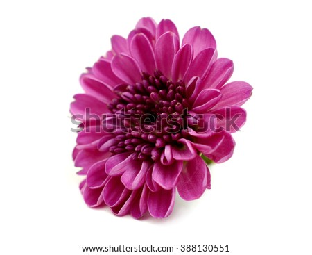 Autumn flower: red chrysanthemum isolated on white  - stock photo