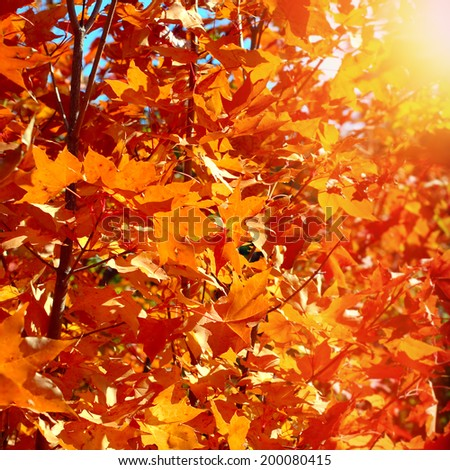 Autumn Foliage Red Leaves on the Trees - stock photo