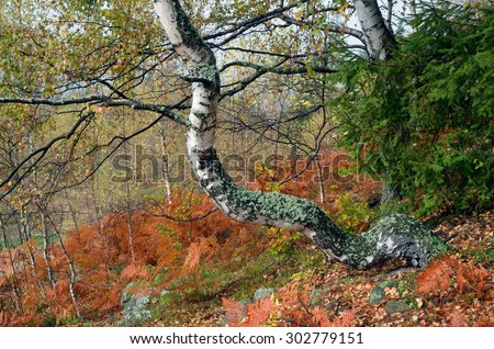 Autumn forest after the rain. Beautiful birch covered with moss. Brown fern under the trees - stock photo