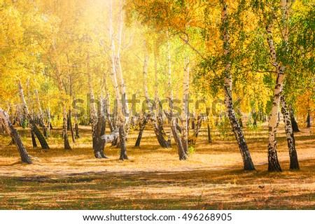 Autumn forest. Birch trees with yellow leaves