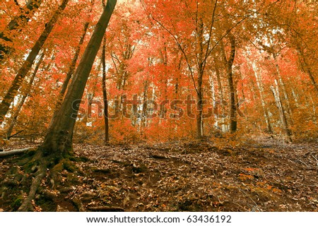 Autumn forest canopy - stock photo