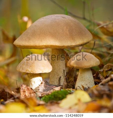Autumn forest eatable mushrooms close-up - stock photo