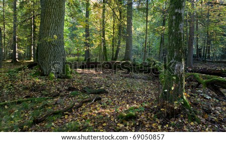 Autumn forest landscape with broken trees strictly nature protection area of Bialowieza National Park - stock photo