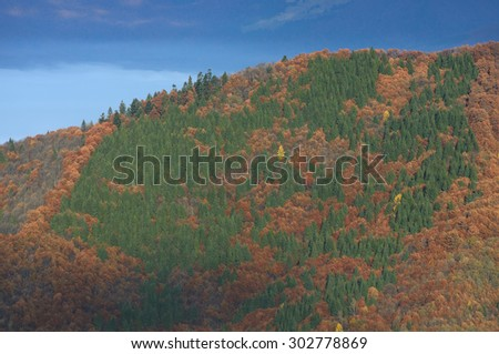 Autumn forest on the hillside. Beech and fir trees. Natural texture. Carpathians, Ukraine, Europe - stock photo