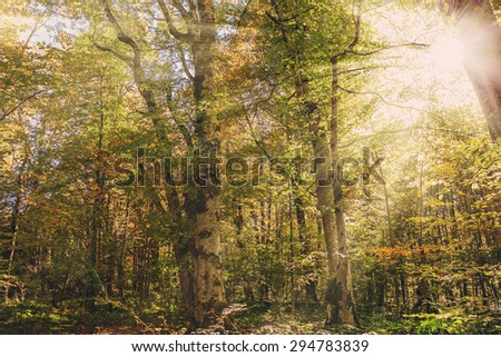 Autumn forest. Trees with colorful foliage and sun rays. Toned photo. - stock photo