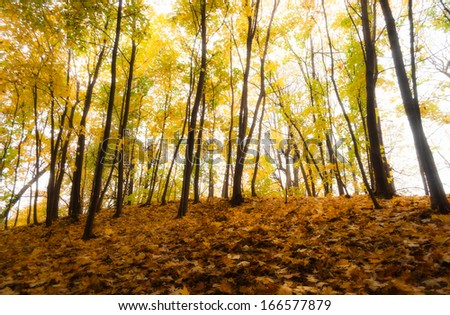 Autumn forest with fallen leaves in the foreground