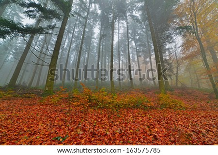 Autumn forest with pines in the mist with autumn leafs on the ground. Belgium. Ardennes. Vresse sur Semois. - stock photo