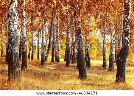 Autumn forest with yellow birches and dry herb - stock photo
