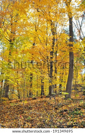 Autumn forest with yellow maple trees and colorful foliage in hiking trail, Toronto